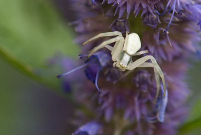 Crab spiders are vary patient, once you know where they are you usually can come back the next day and find it again.