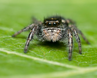 Jumping spider Vancouver Island.