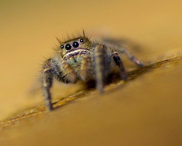 On a sunny day its pretty find Jumping Spiders on the south side of the house.