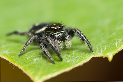 Jumping spiders are one of the easiest spiders to photograph, sometimes they will jump on to the camera.