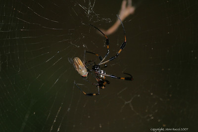 Golden Silk Orbweaver catching a deer fly - hopefully the one that was biting me while taking these pictures!