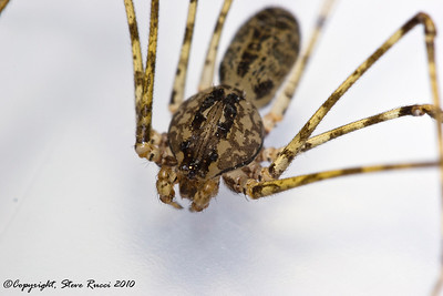 Spitting Spider - (Scytodes sp.)