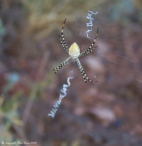 Spider at Wupatki National Monument, Arizona