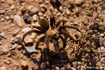 Tarantula at Abo Ruins - Salinas Pueblo Missions National Monument, New Mexico.