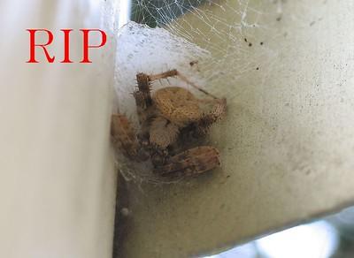 SpiderRip1