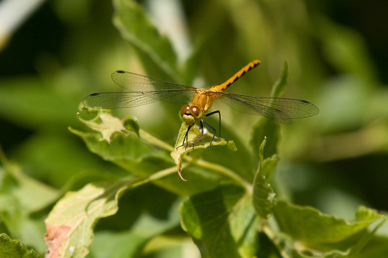 Young Female Autumn Meadowhawk