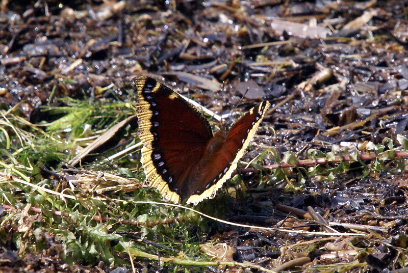 Mourning Cloak Butterfly. (thanks to Ruth for the ID).