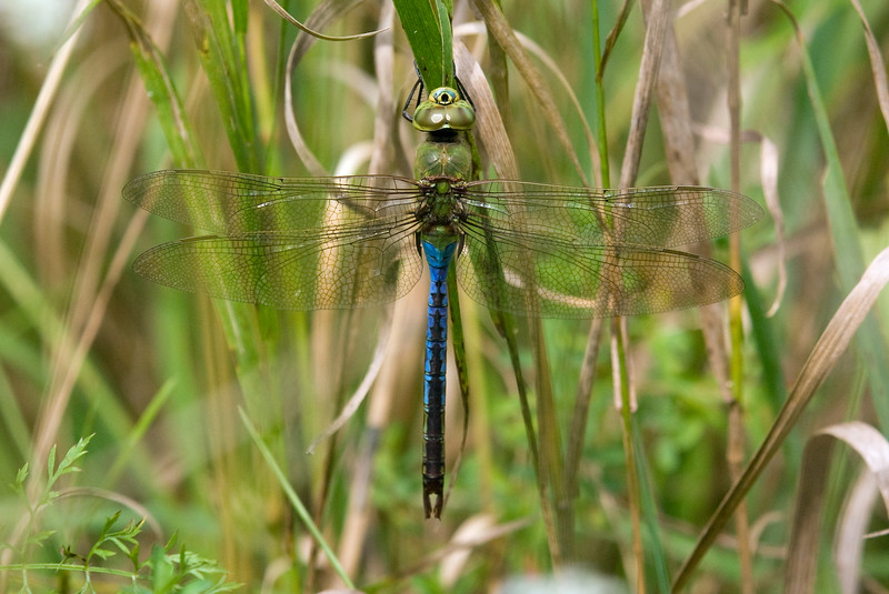 Common Green Darner (Anax junius) - One of the more famous migrant species. These guys have two populations in Ontario - one that emerges in June for a short period and overwinters as a larvae in fishless waterbodies and another that migrates here in the spring, lays eggs, and develops quickley in any sort of water body to emerge in late August and then to migrate south. You're specimen is a mature adult male, the females and freshly emerged males have a reddish brown abdomen instead of the bright blue. (Thanks again to Mike B. for the info).