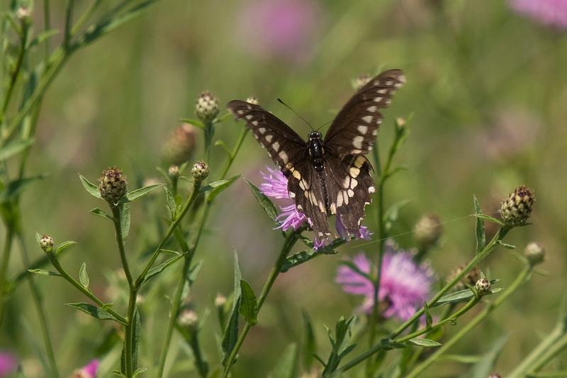 Black Eastern Swallowtail Butterfly