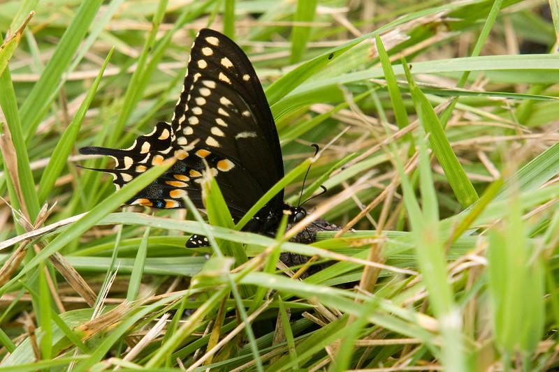 Black Eastern Swallowtail (Thanks Ethan!)