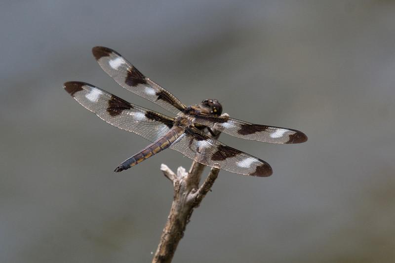 12-spotted skimmer