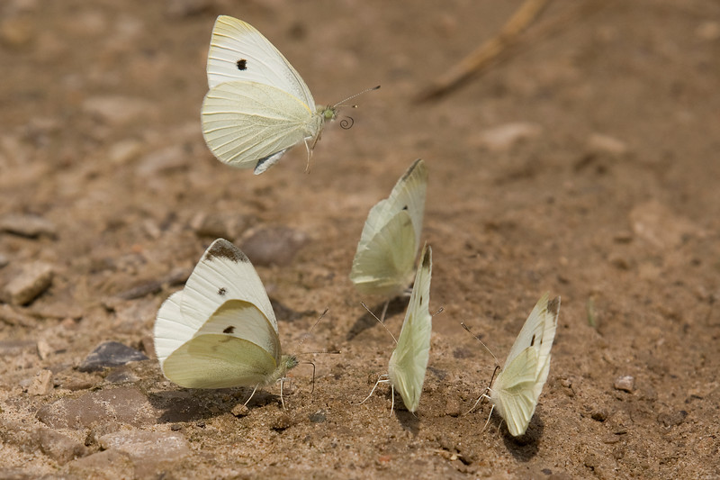 A herd of Small Cabbage Whites. Mooooo-eh!