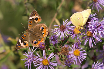 Common Buckeye and an Orange Sulphur