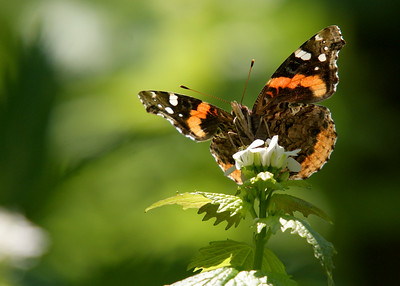 Among my early attempts to include butterflies within the scope of my lens, i was especially pleased with the angle of this shot and the commanding view of the Red Admiral.
