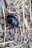 Beetle7240