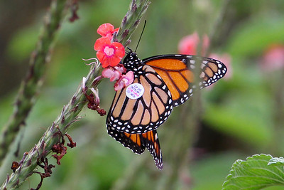 I never got a reply when I requested info about the travels of this tagged Monarch.