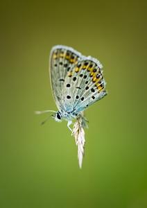 Melissa Blue (Plebejus melissa) shot in Xian, China