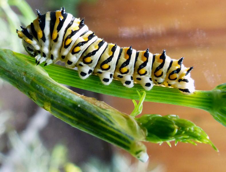 Eastern Black Swallowtail  (Papilo polyxenes)