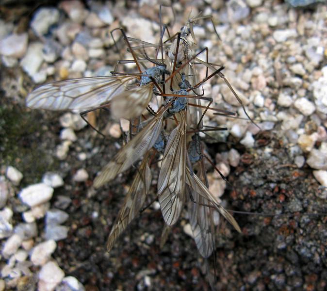 Mt. Evans Colorado - unknown species. Cluster fans!