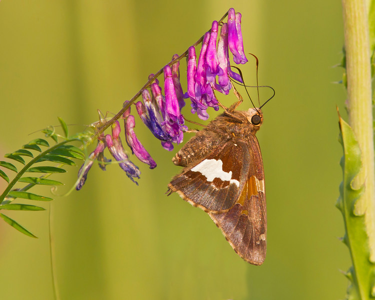 This photograph of a Silver-spotted Skipper was captured along the Colonial National Parkway in Yorktown, VA (5/11).     This photograph is protected by the U.S. Copyright Laws and shall not to be downloaded or reproduced by any means without the formal written permission of Ken Conger Photography.