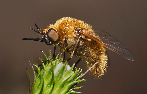 bee-fly-2816