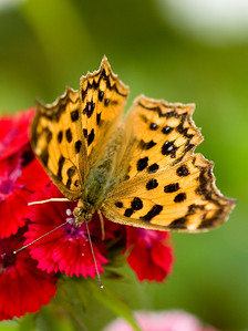 Some species of Comma, Satyr Comma (Polygonia satyrus) ? shot at Dongping Forest Reserve, Chongming Island, Shanghai, China