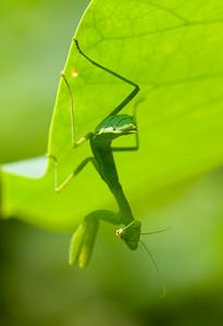 Chinese Mantis (Tenodera sinensis) shot in Dongping Forest Reserve, Chongming Island, Shanghai, China.