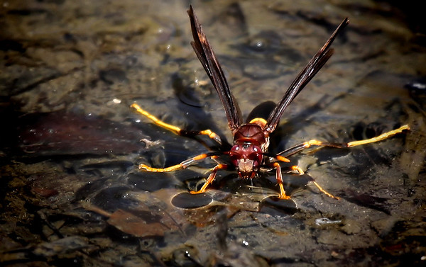 A paper wasp (Polistes annularis) standing on shallow water to drink (2009_03_08_012965)