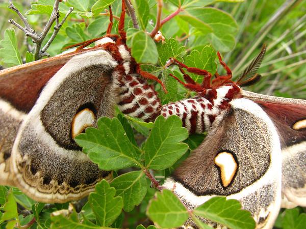 Columbia silkmoth (Hyalophora columbia)