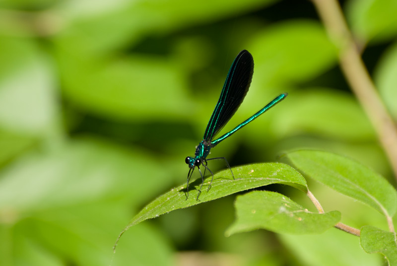 Dragon fly (14)