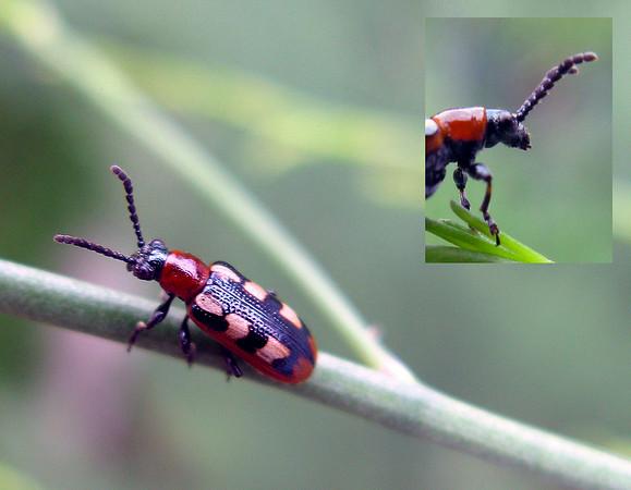 Common asparagus beetle (Crioceris asparagi)