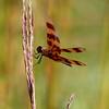 IMG_1953Dragonfly spring lake 2010
