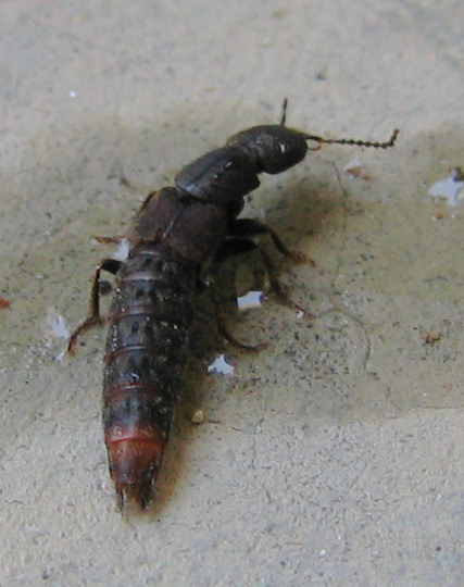 A rove beetle on the patio (196_9619)