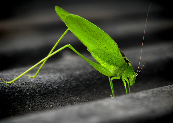 A male Texas oblong-winged katydid (Amblycorypha huasteca) standing in the bed of a pickup truck (20120608_00165)