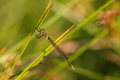 Immature Female Emerald Damselfly