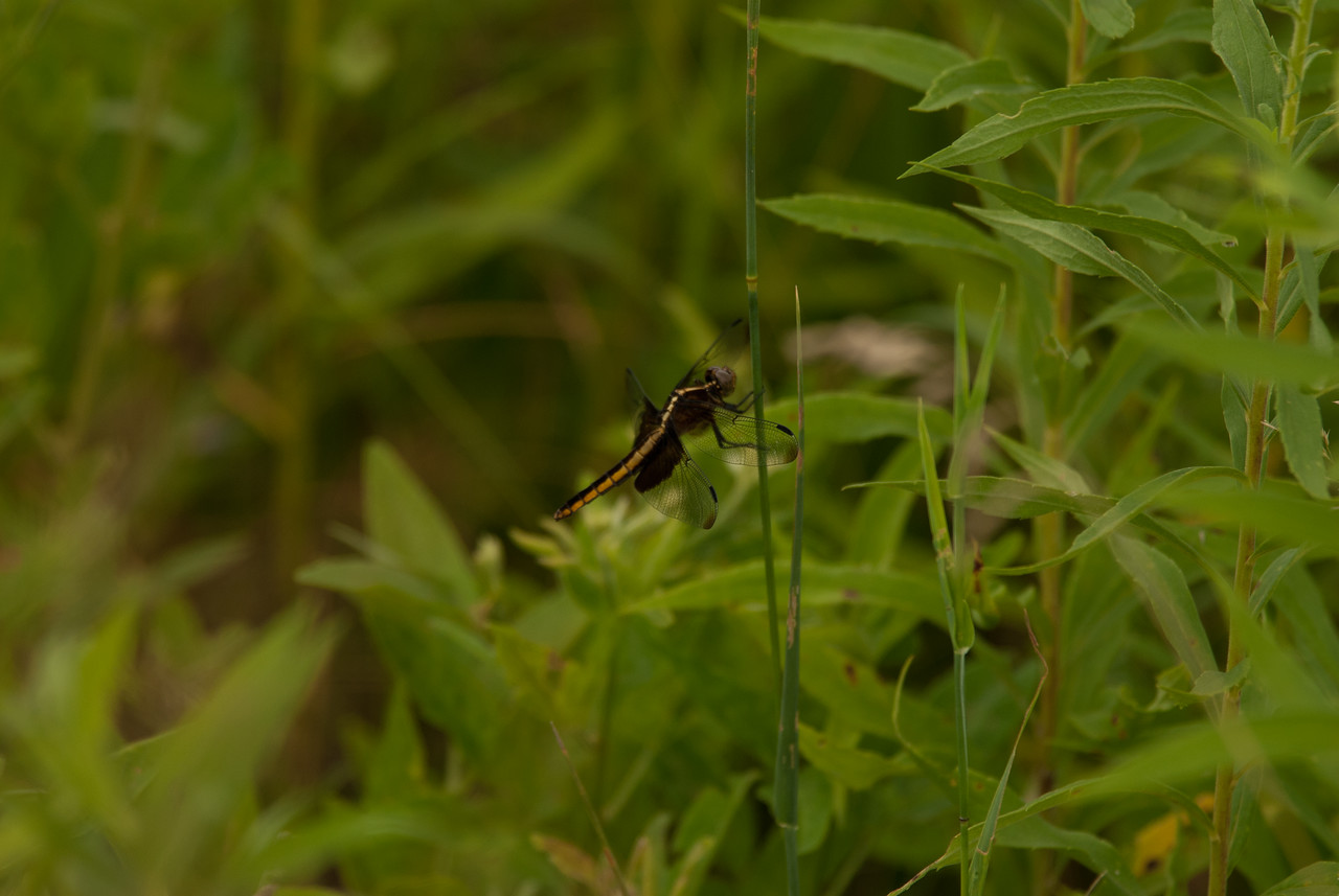 Dragon Fly (1) Three Creeks CA