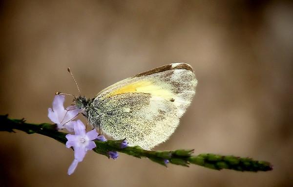 A dainty sulphur (Nathalis iole) feeding on Texas vervain (Verbena halei) (IMG_2753)