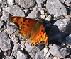 Eastern Comma (Polygonia comma)