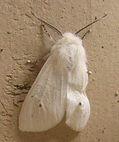 A fall webworm moth (Hyphantria cunea) (203_0392)
