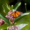 Butterfly_2968
