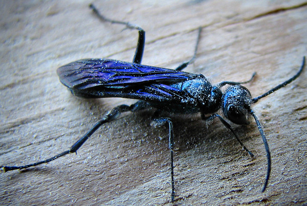 A blue mud wasp (a.k.a. blue mud-dauber; Chalybion californicum) perched in a dark windowsill (IMG_0788)