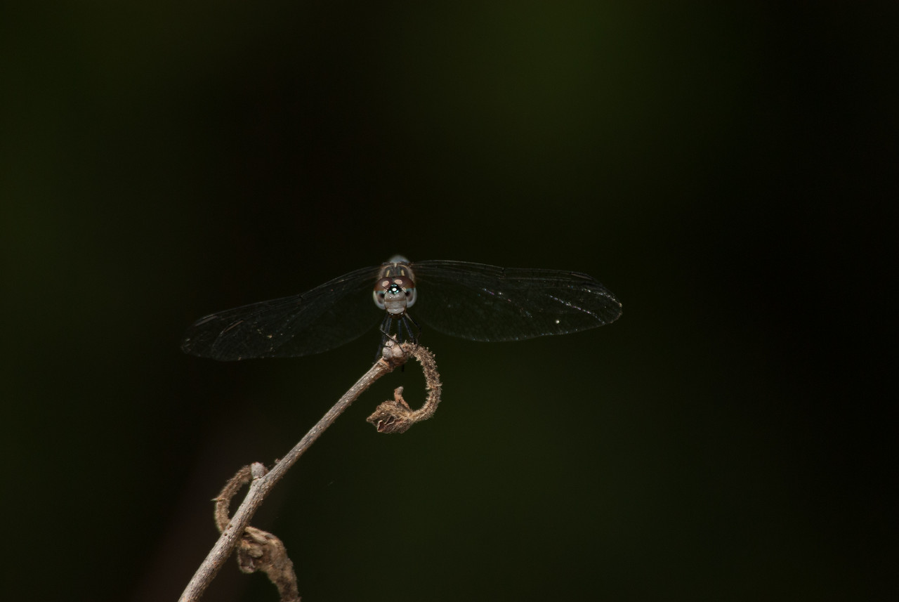 Dragon Fly (7)