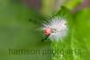 White Marked Tussock Caterpillar