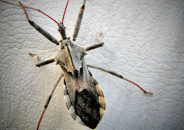 Dorsal view of an adult wheel bug (Arilus cristatus) as it dries (20120625_00457)