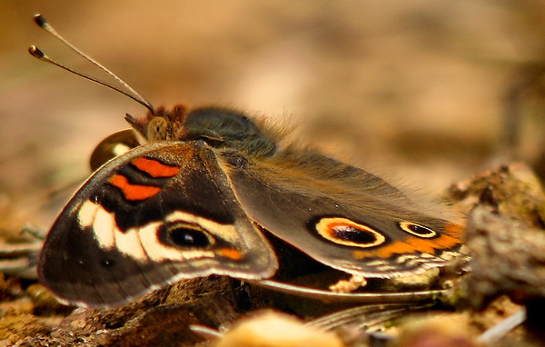 A common buckeye (Junonia coenia) resting on the ground (IMG_0951)