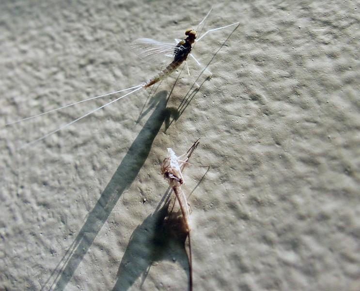 Mayfly (order Ephemeroptera) sp. unknown