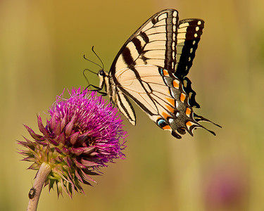 This photograph of a Yellow Swallowtail Butterfly on a Musk Thistle was captured along the Colonial National Parkway in Yorktown, VA (5/11).     This photograph is protected by the U.S. Copyright Laws and shall not to be downloaded or reproduced by any means without the formal written permission of Ken Conger Photography.