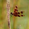 IMG_1954Dragonfly spring lake 2010