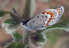 Pawnee Butte hike, Colorado.<br /> <br /> Best guess on species is Rita Dotted-blue (Euphilotes rita), female.