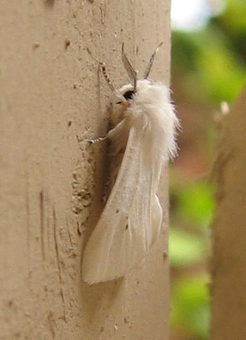 A fall webworm moth (Hyphantria cunea) (203_0400)